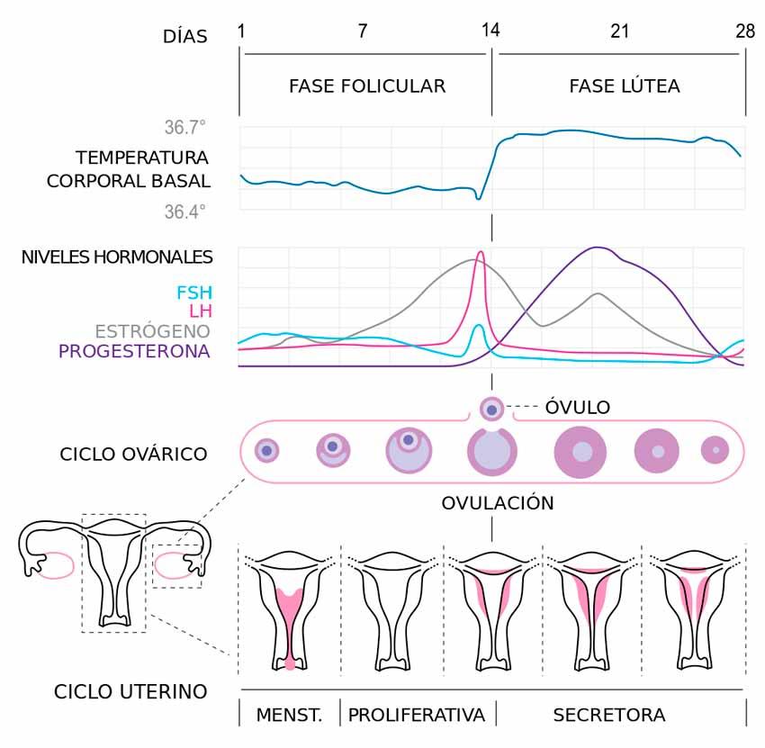 ciclo-menstrual-mujeres-hormonas