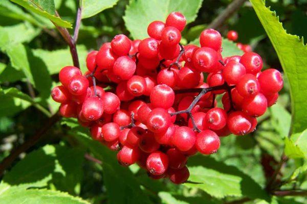 propiedades-arandanos-rojos-arbol-arandanos