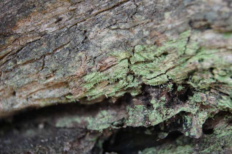 propiedades-de-la-chlorella-alga